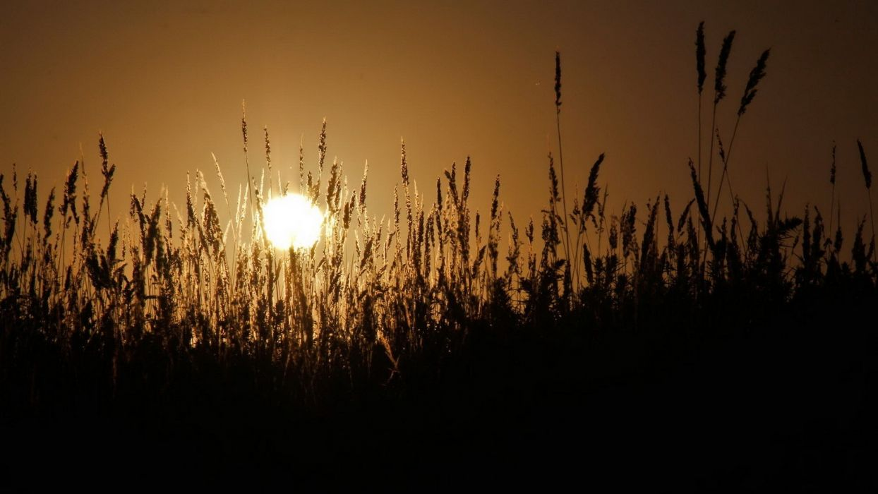 sunset landscapes wheat spikelets wallpaper