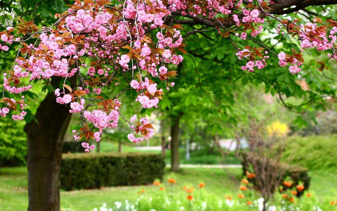 cherry blossoms garden wallpaper