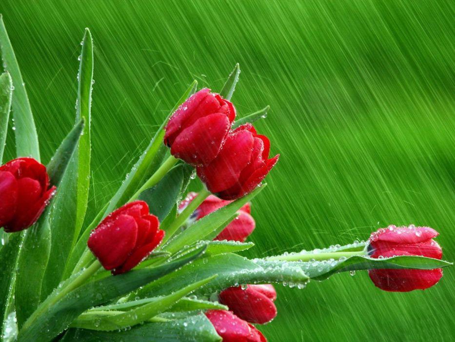 Rain flowers spring season tulips red flowers wallpaper rain flowers spring season tulips red flowers wallpaper altavistaventures Image collections