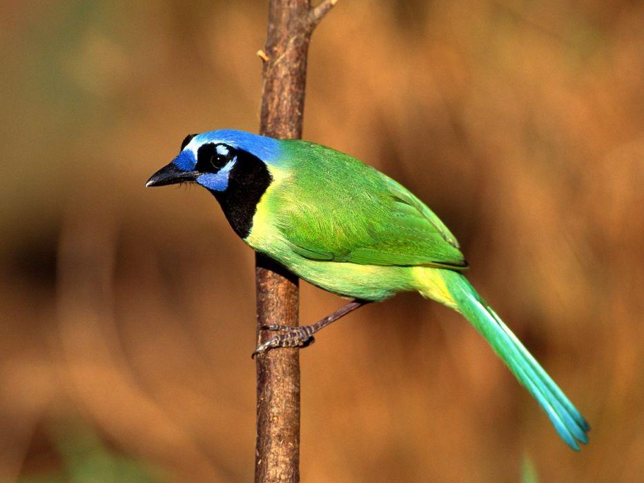 nature birds Jays wallpaper