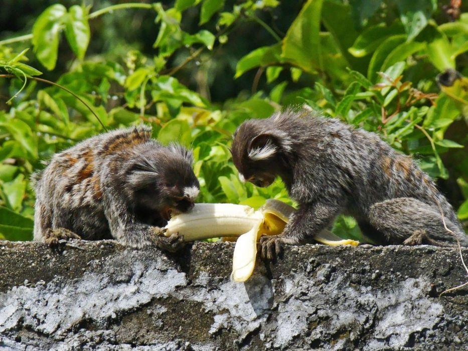 animals leaves bananas monkeys eating wallpaper
