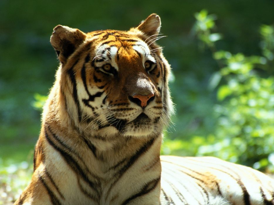 animals Bengal tigers wallpaper