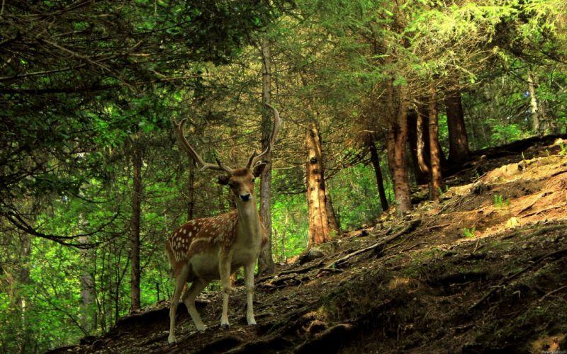 forest animals deer wallpaper