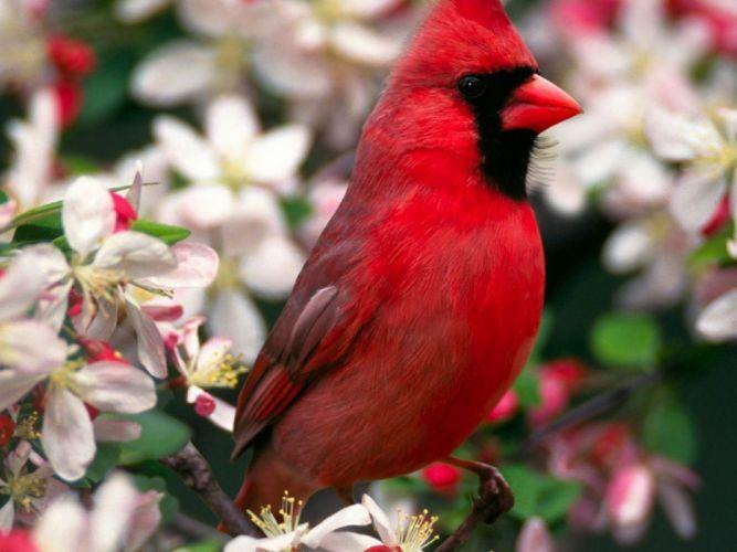 birds animals Northern Cardinal wallpaper