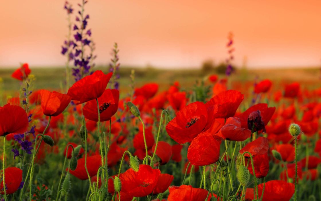 nature flowers red flowers poppies wallpaper