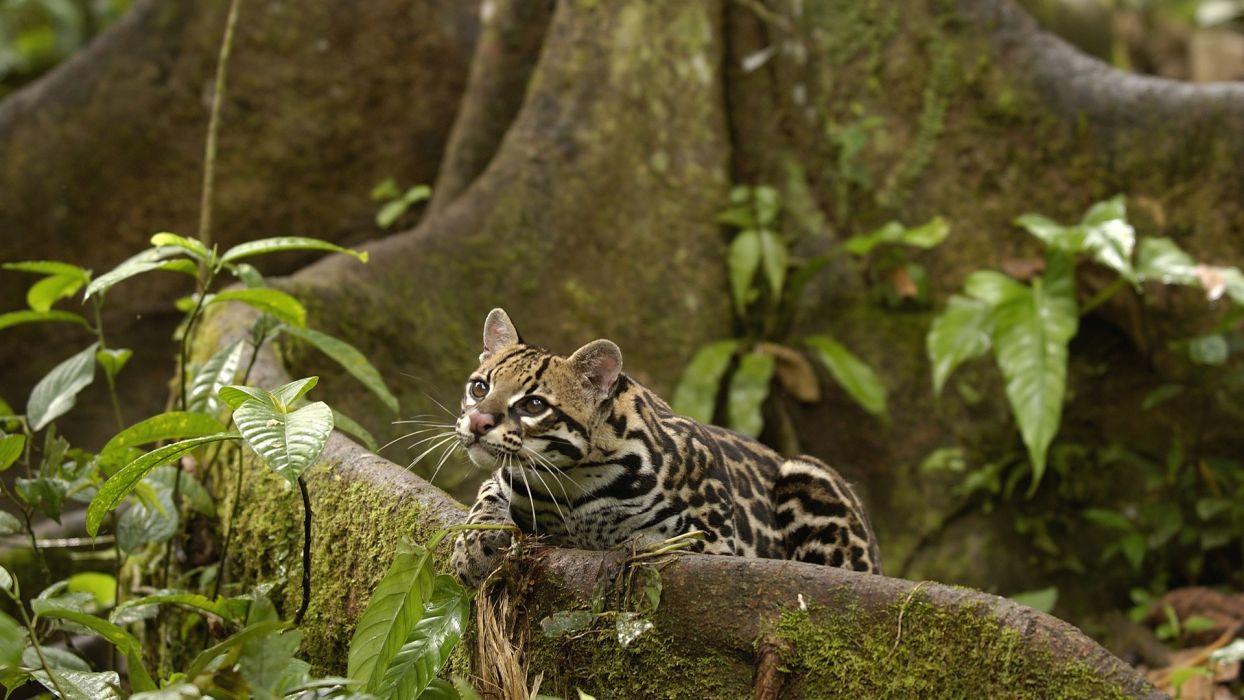 animals amazon rainforest ocelots Ecuador wallpaper