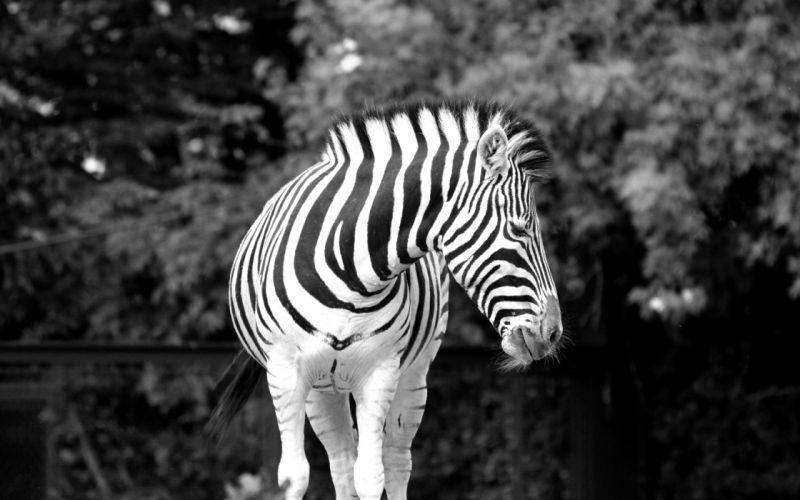 animals zebras grayscale wallpaper