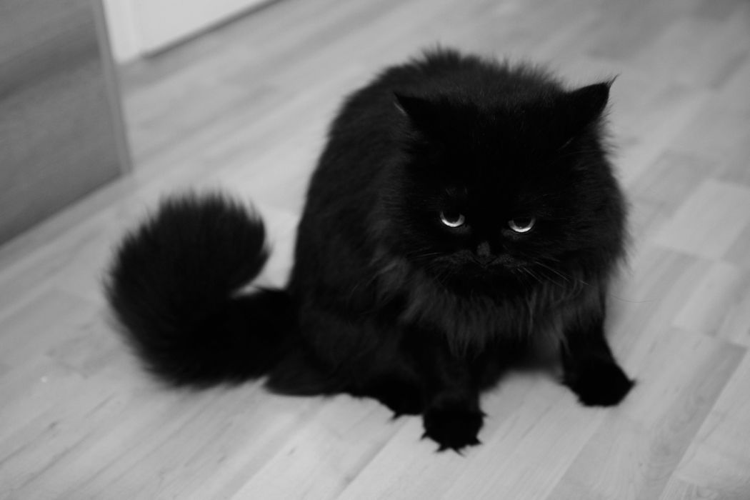 black and white eyes black cats animals fur wallpaper