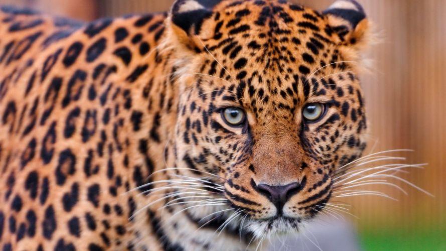 nature animals leopards wallpaper