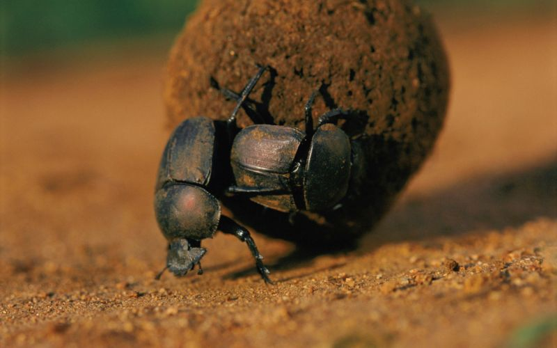 animals insects dung beetle beetles wallpaper