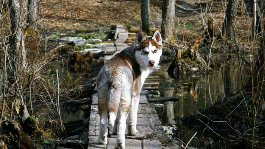 forest animals dogs husky Wooden Bridge swamps wolves wallpaper