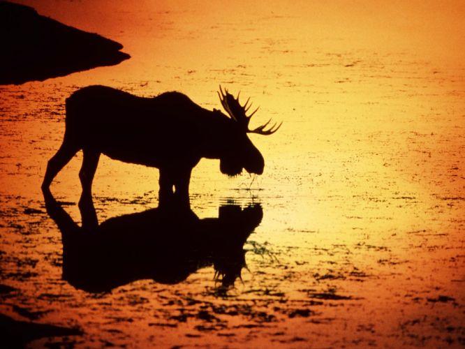 sunset animals silhouettes Wyoming moose wallpaper