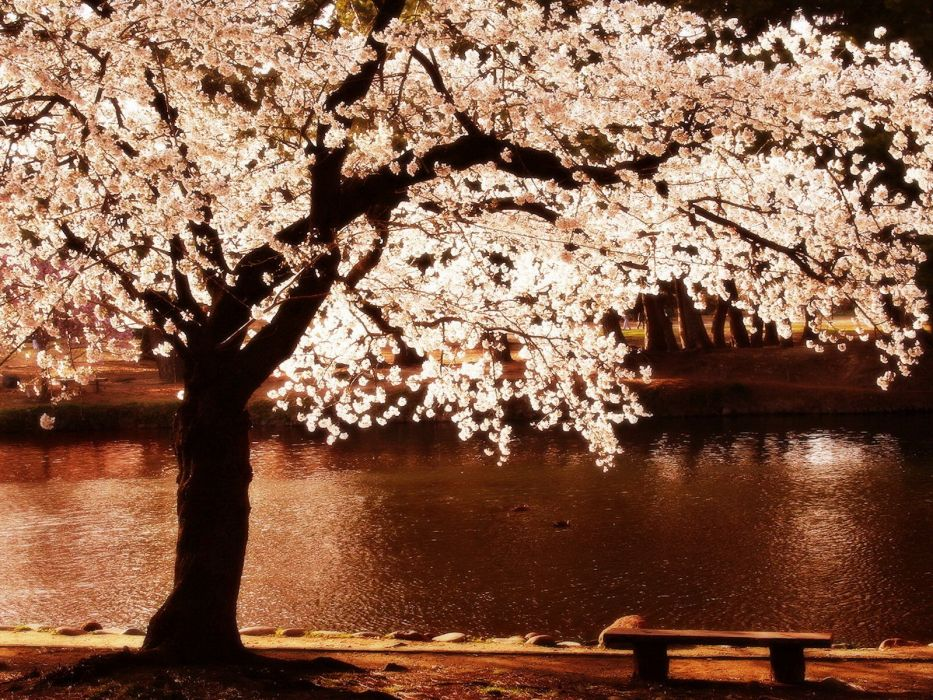 cherry blossoms trees night flowers blossoms rivers reflections wallpaper