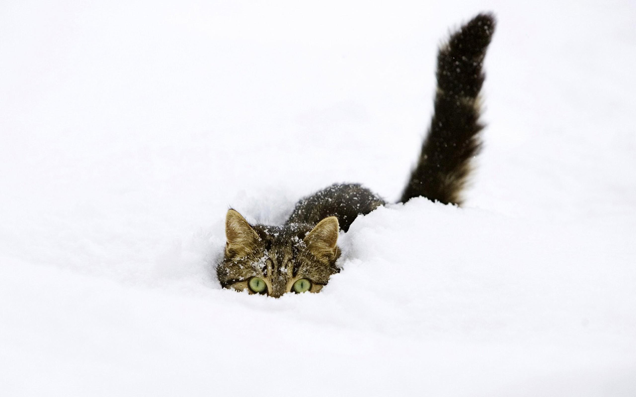 persian kitten - Wallpapers Free