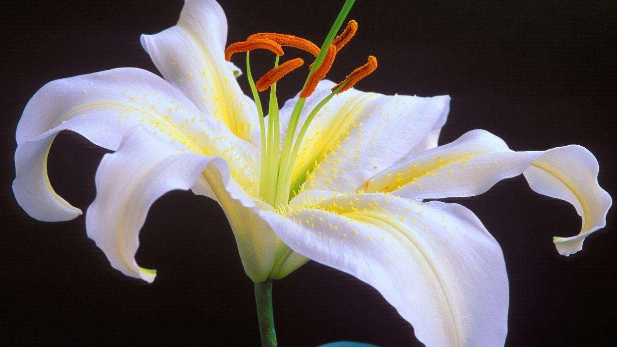 Oriental lilies white flowers wallpaper 1920x1080 63196 oriental lilies white flowers wallpaper izmirmasajfo
