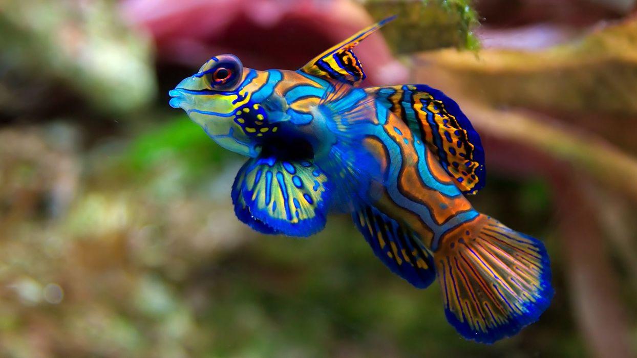 fish mandarinfish wallpaper