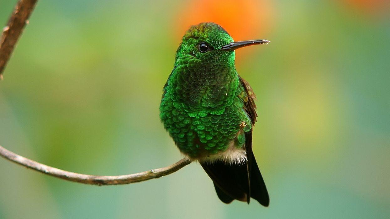 green birds hummingbirds iridescence wallpaper