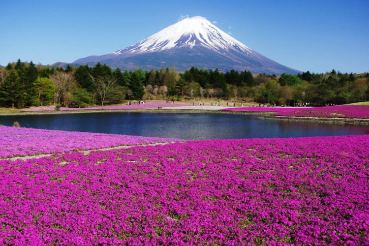 landscapes nature Mount Fuji flowers wallpaper