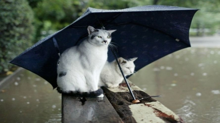 rain cats animals humor umbrellas wallpaper