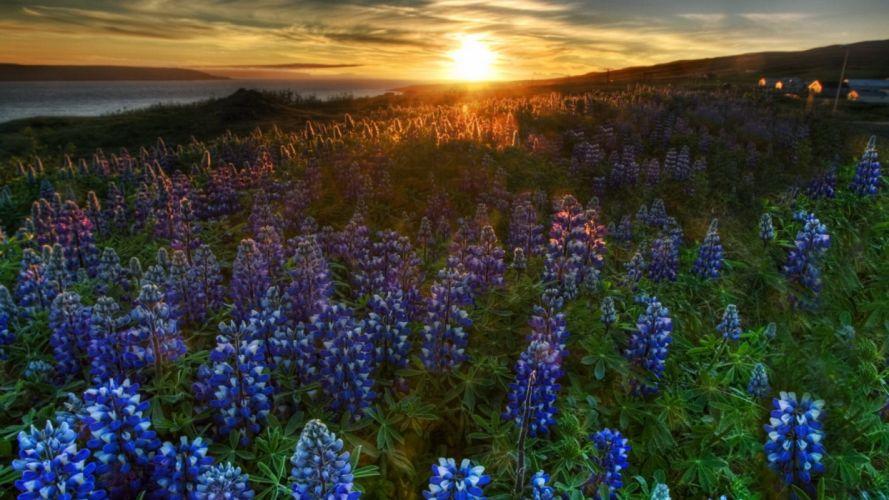 sunset nature flowers blue flowers Bluebells wallpaper
