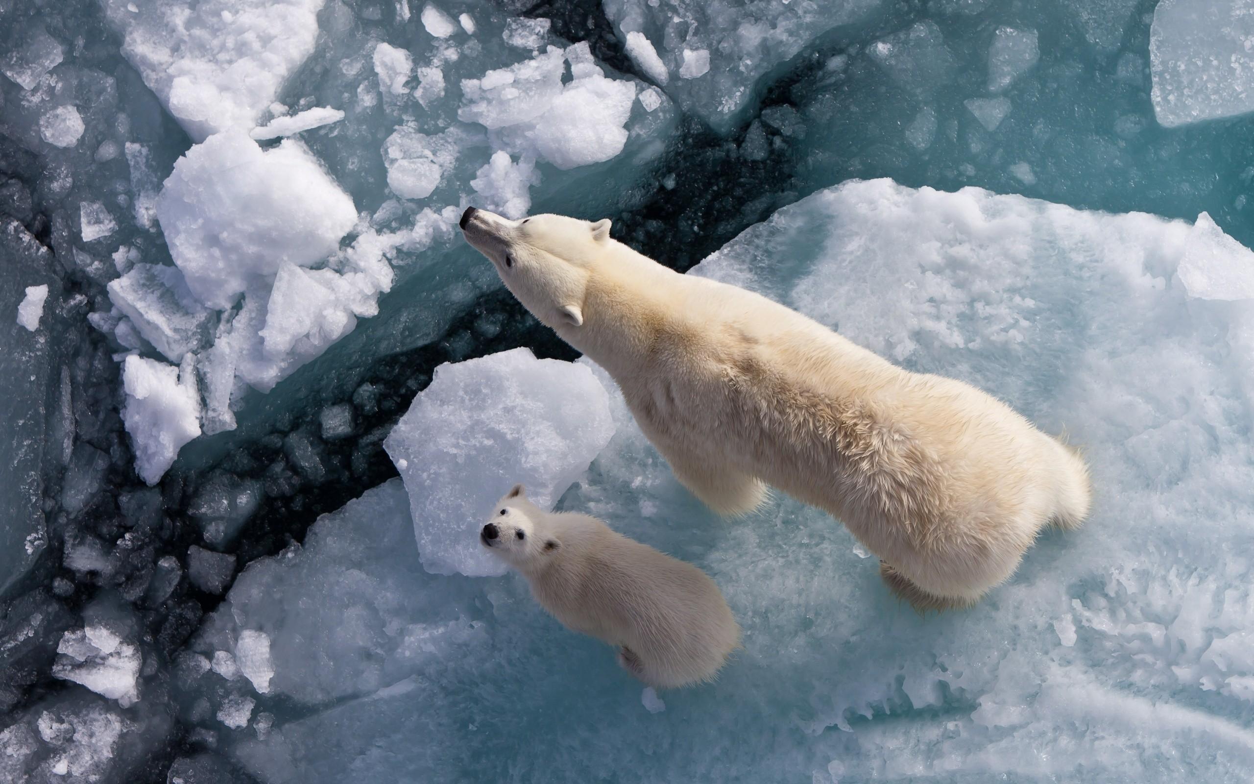 Ice white animals polar bears baby animals wallpaper | 2560x1600 ...