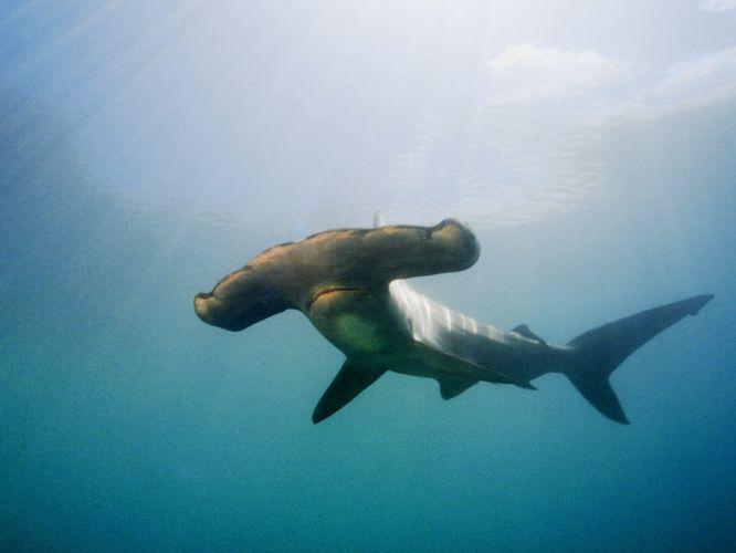 fish sharks Hammerhead Shark wallpaper