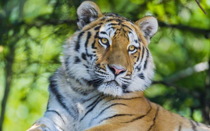 animals tigers feline wallpaper