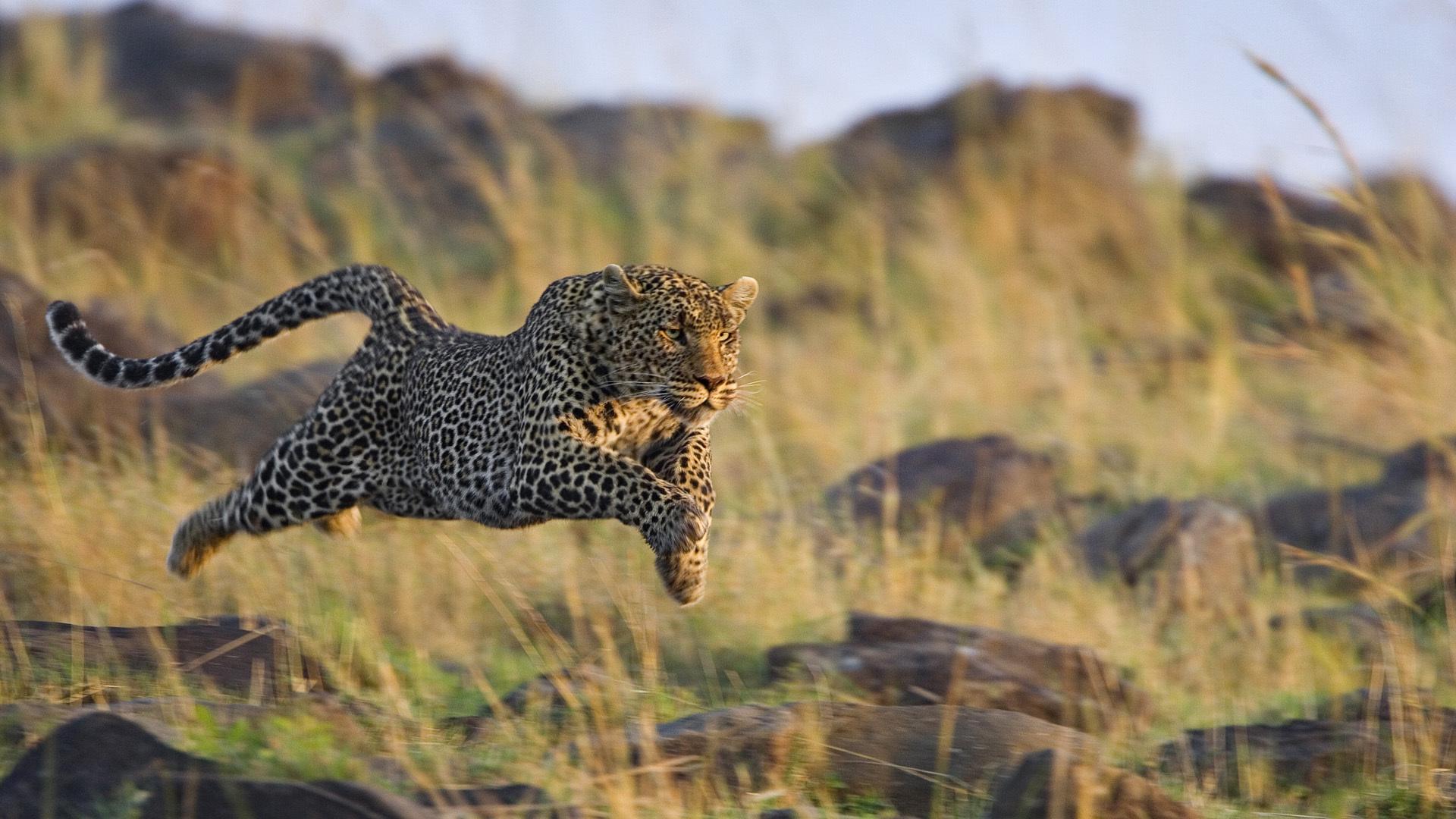 leopard cat predator jump wallpaper 1920x1080 63638