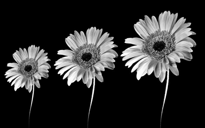 black and white flowers black background wallpaper