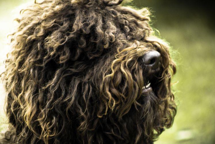 dogs long hair fur depth of field photomanipulation wallpaper