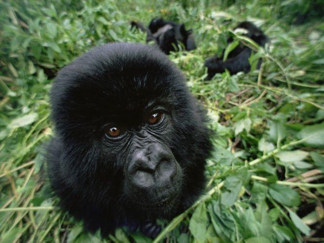 gorillas wallpaper