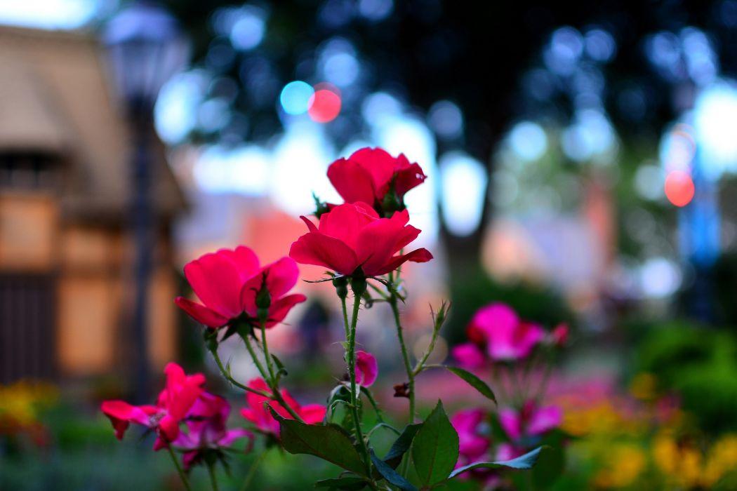 nature flowers epcot macro roses wallpaper