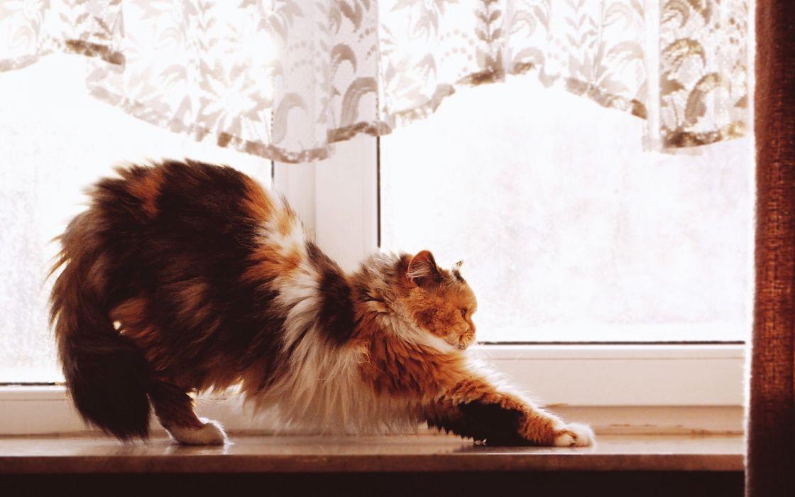 animals pets cats wallpaper