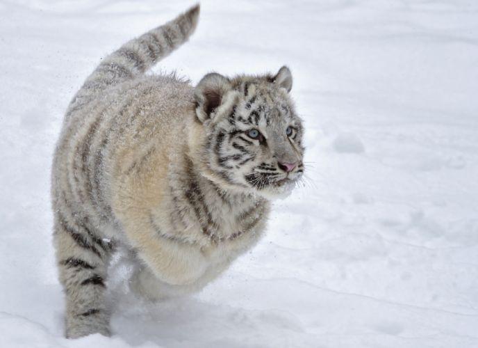 cats Tigers Cubs Glance Snow Animals e wallpaper
