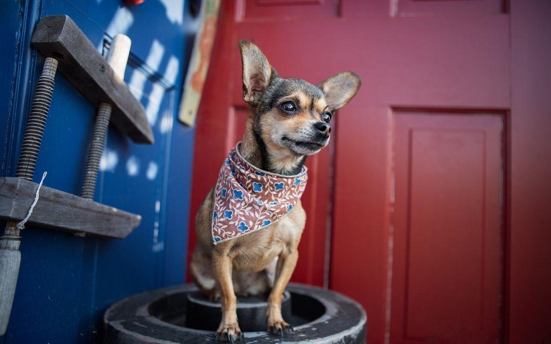 Dog Bandanna wallpaper
