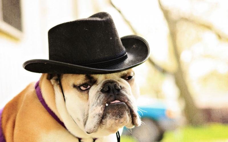 Dogs Bulldog Hat Snout Glance Animals wallpaper