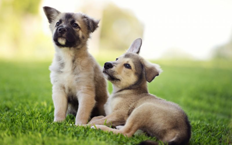Dogs Puppy Grass Animals wallpaper