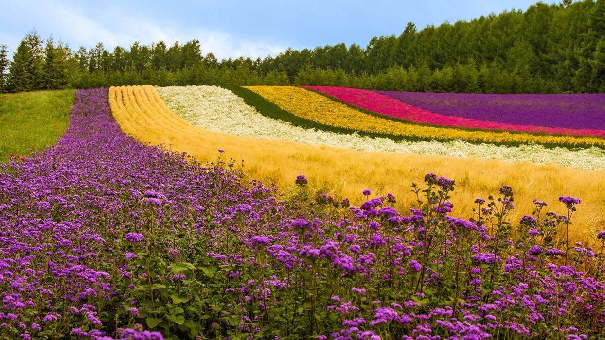 fields flowers landscapes wallpaper