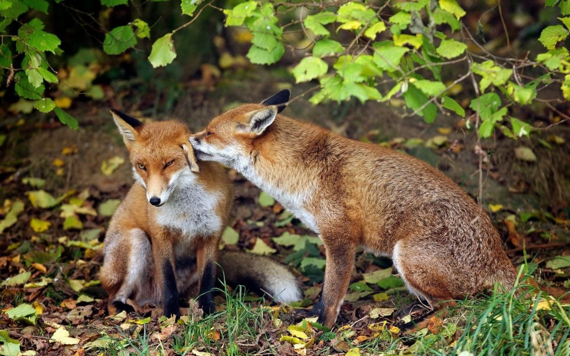 Foxes Animals wallpaper