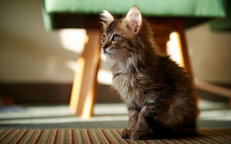 kittens cats wallpaper