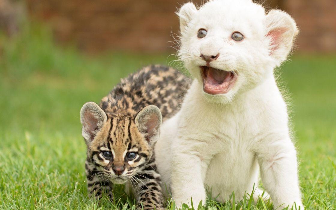Serval Cat Kitten Cub Tiger wallpaper