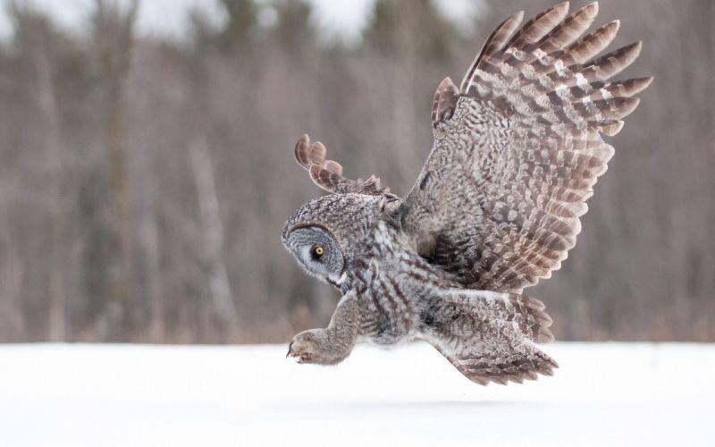 winter animals owls wallpaper