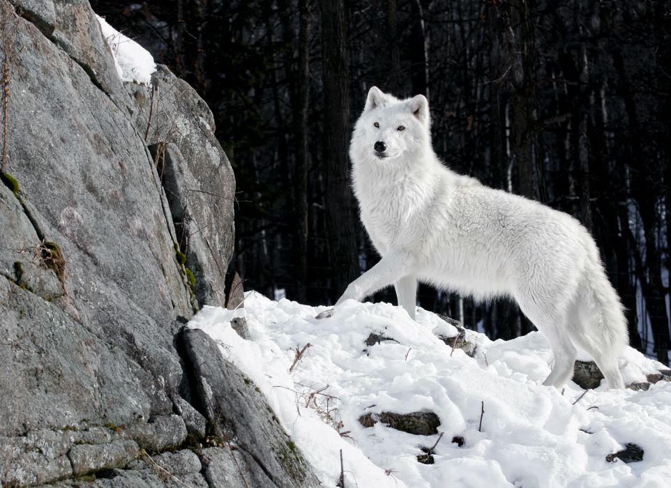 Wolves White Animals wolf wallpaper
