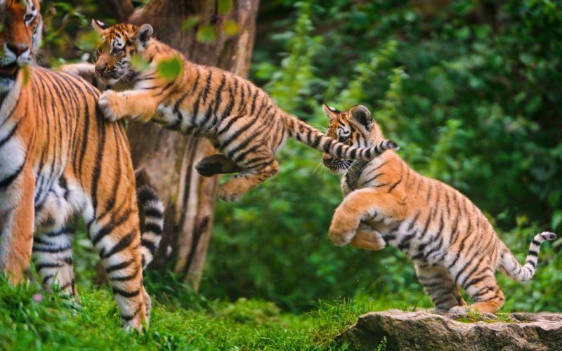 Tiger Cub Jump wallpaper