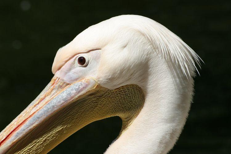 animals pelican birds wallpaper