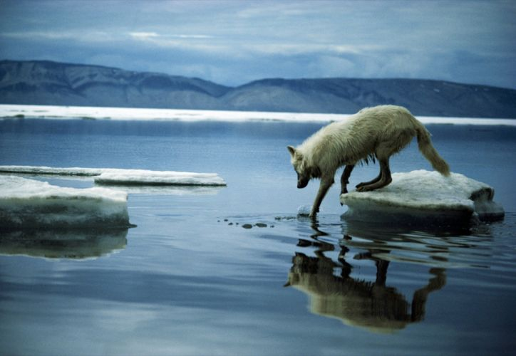 National Geographic arctic fox foxes wallpaper