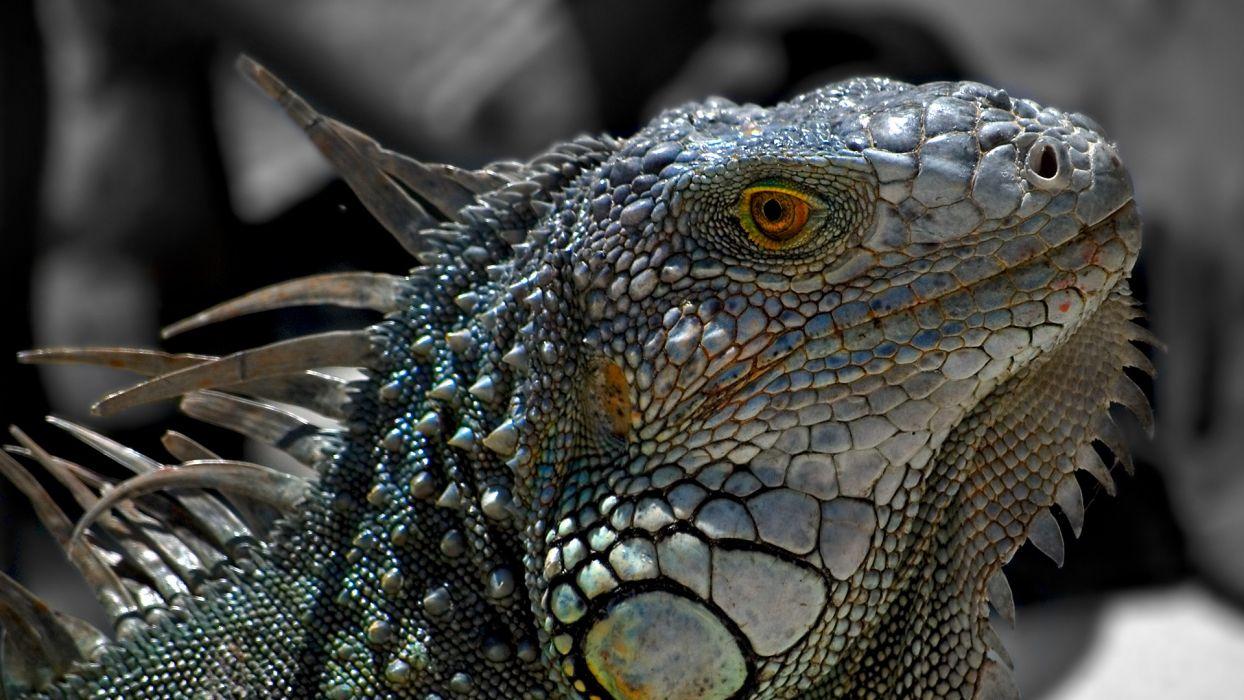 close-up nature animals lizards macro reptiles iguana wallpaper