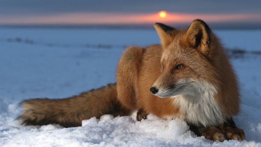 snow Sun foxes wallpaper