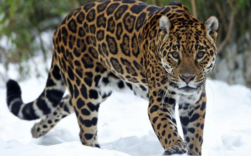 jaguar predator snow eyes cat wallpaper