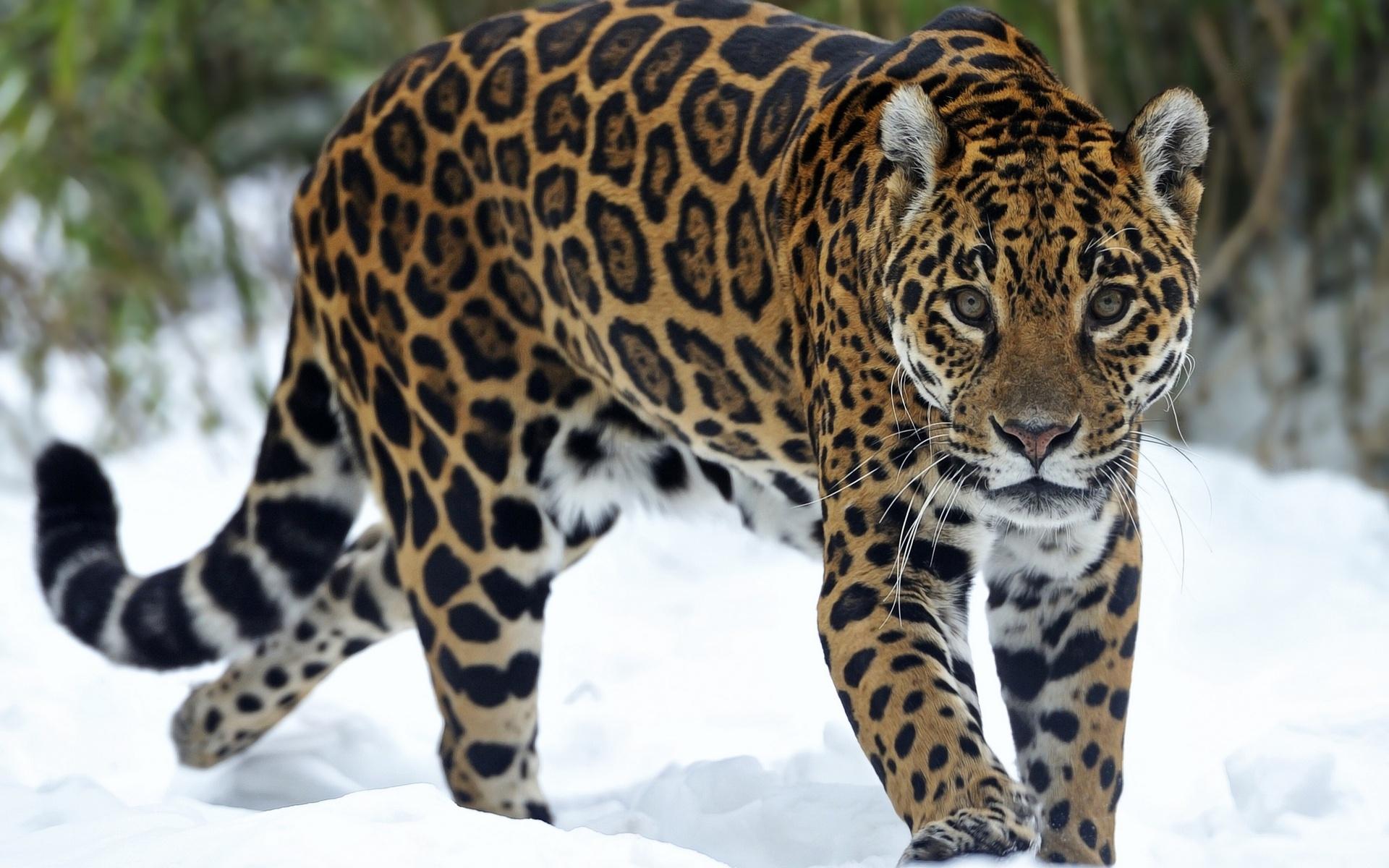 jaguar predator snow eyes cat wallpaper 1920x1200